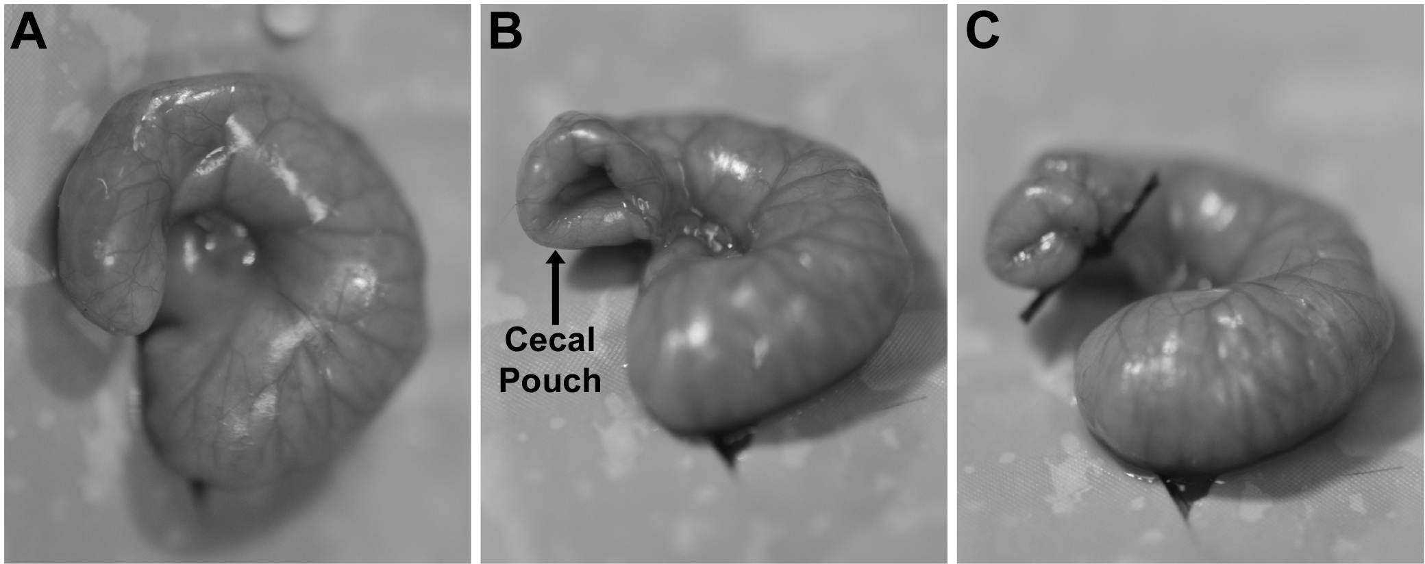 Ssat A Novel Method To Generate Colon Cancer Orthotopic Tumors In Mice Implantation Using The Cecal Pouch Technique